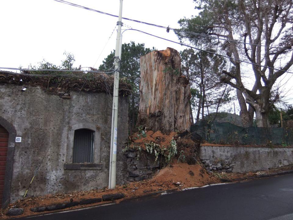 L'albero lungo dopo il taglio (foto di Emilio Corino)
